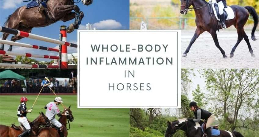 inflammation in horses